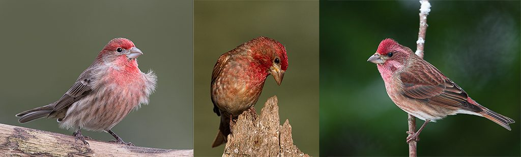 "The three ""red"" Finches. From left to right, House Finch, Purple Finch, and Cassin's Finch. All males. Photos by Dennis Plank"