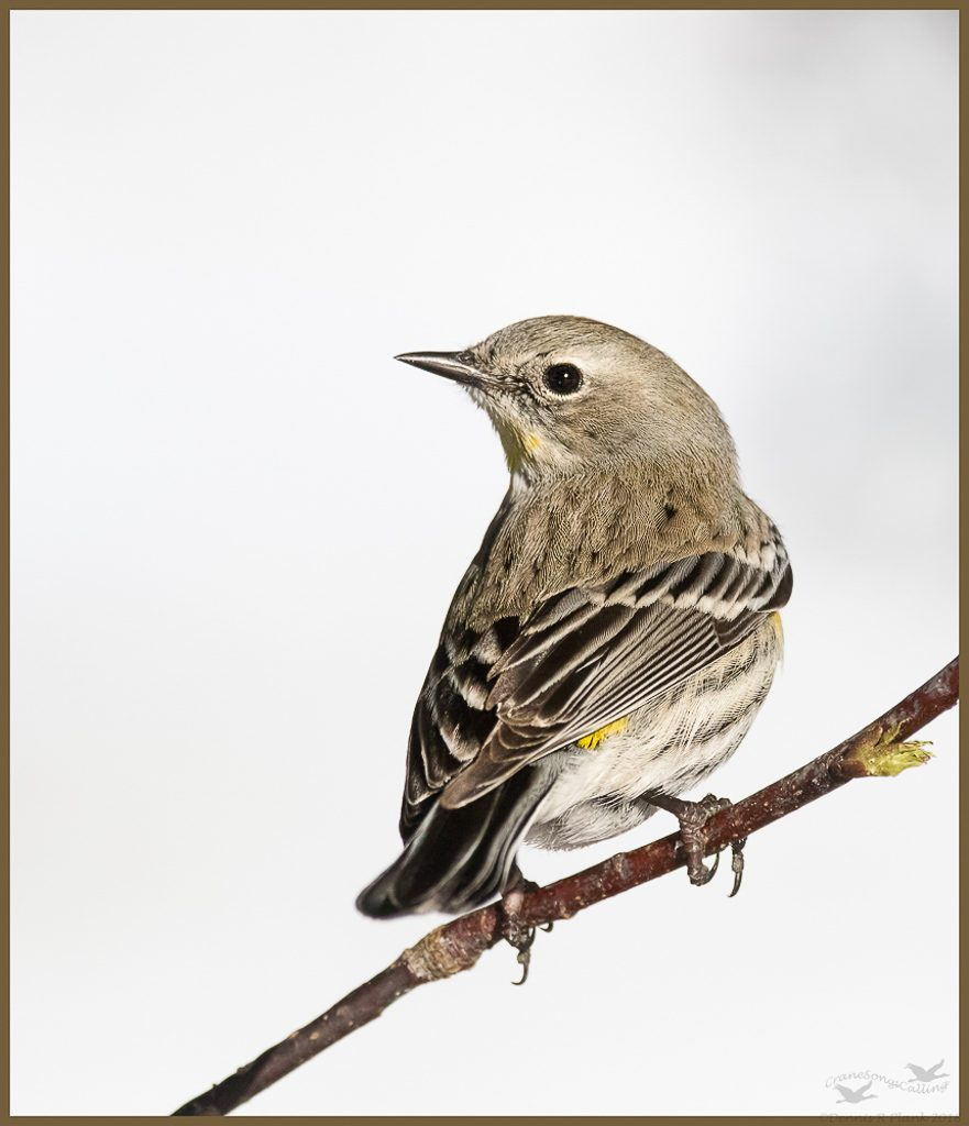 Yellow-rumped Warbler in winter from a few years ago. Photo by Dennis Plank.