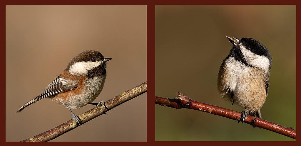 Chestnut-backed Chickadee (left) and Black-Capped (right). Both common feeder birds in the winter, though I haven't seen the Chestnut-backed at my feeders yet this winter. They tend to summer in the mountains and move down, but we did have a pair nesting here this past summer. Photo by Dennis Plank
