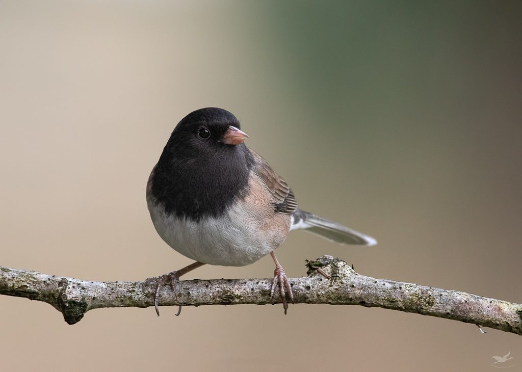 Dark-eyed Junco, Oregon Race. This is our common Junco in the northwest and is present year around on the prairies. Photo by Dennis Plank