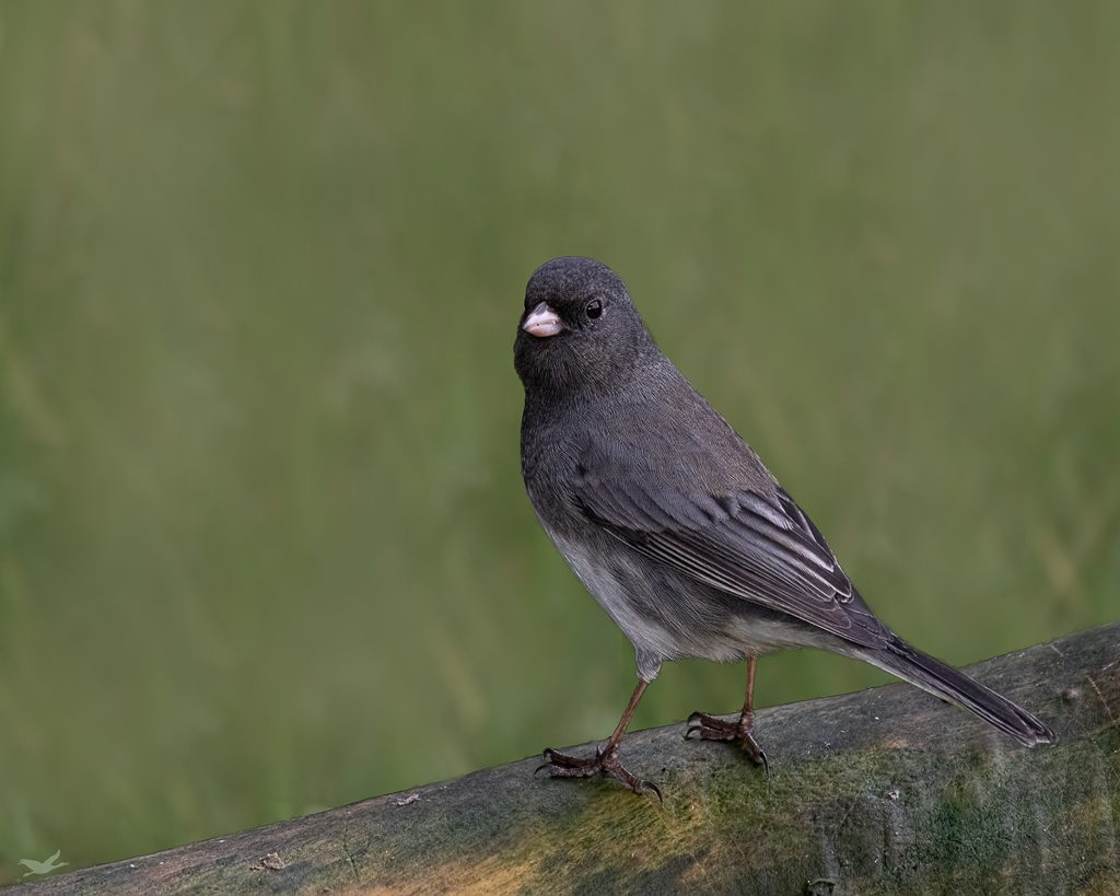 Dark-eyed Junco, Slate Colored Race. While the range maps show this area as part of their winter range, they list them as rare to uncommon and this one from last winter is the first I've seen. Photo by Dennis Plank