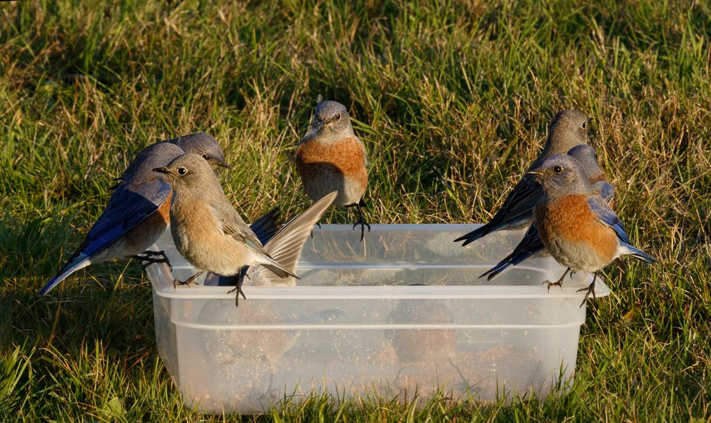 Winter Bluebirds at a snack of mealworms. Photo by Dennis Plank.