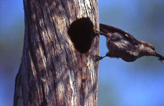 Brown-headed Nuthatch, Photo by Ecostudies Institute