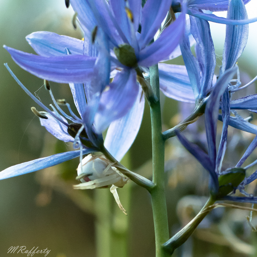 Look closely for the white spider on the prairie's iconic wildflower, Camas. Instead of weaving a web, this spider relies on a surprise capture of an insect. Photo by Meredith Rafferty