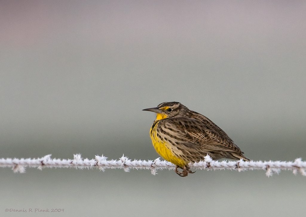 Western Meadowlark on frosted wire. I ran across this in my files. Taken on Glacial Heritage. Photo by Dennis Plank