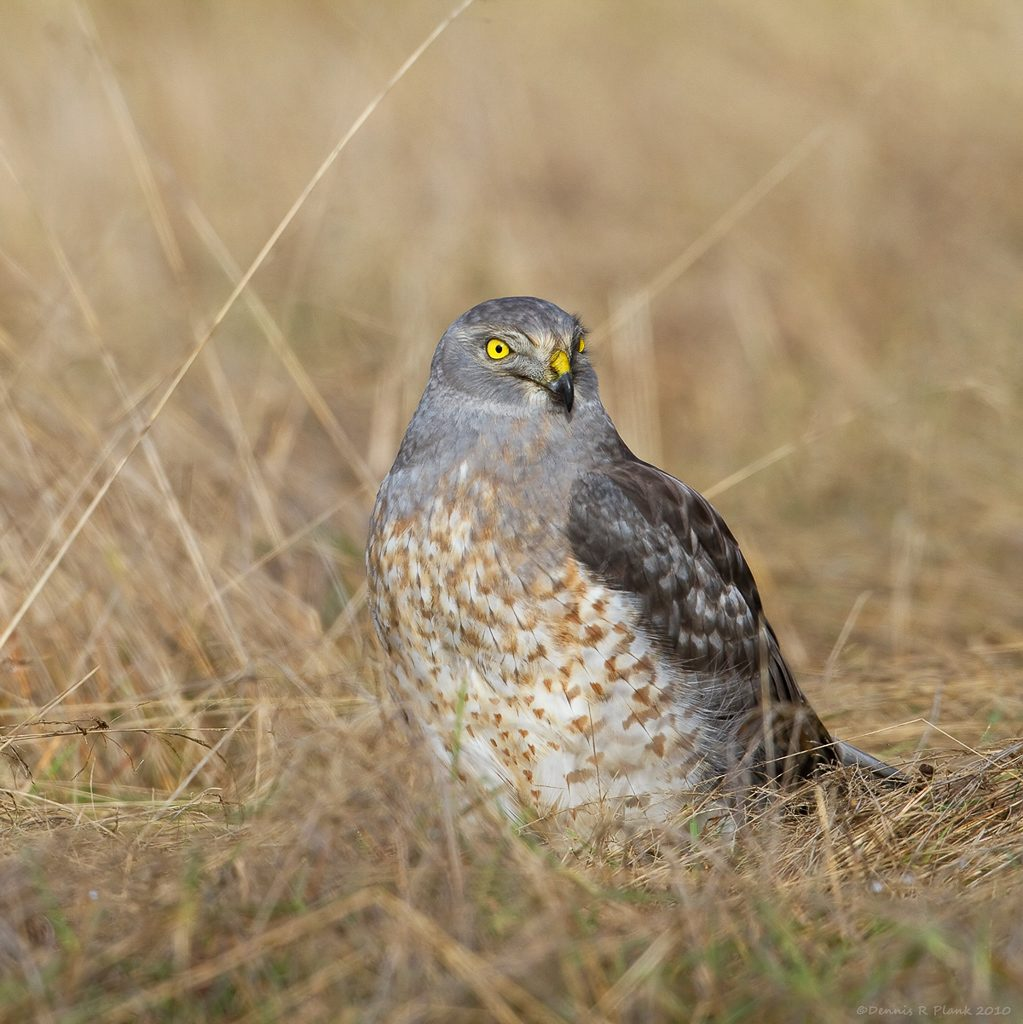 This Male Northern Harrier had taken a vole in our front yard and wasn't about to fly despite me and my camera. Photo by Dennis Plank
