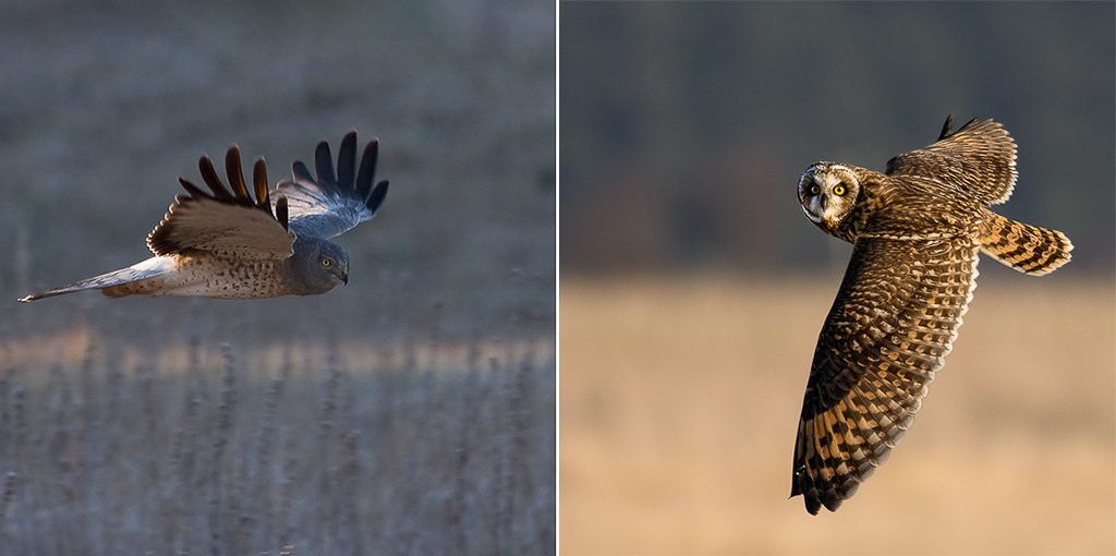 Male Northern Harrier (left) and Short-eared Owl (right). The female harriers are brown instead of gray and the owls look a lot like them except for the absence of the white rump patch. The owl photo was taken in the Skagit Valley. Photos by Dennis Plank.