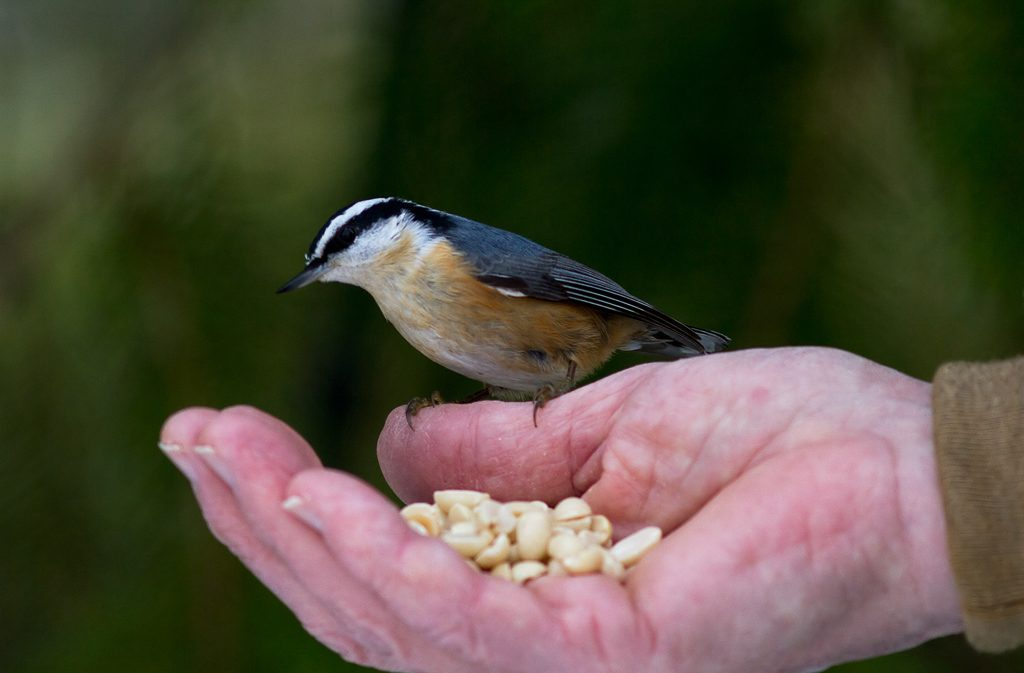 Red-breasted Nuthatch taking peanuts from hand. The same session as the Chickadee photo above. My hand using a remote shutter release. Photo by Dennis Plank