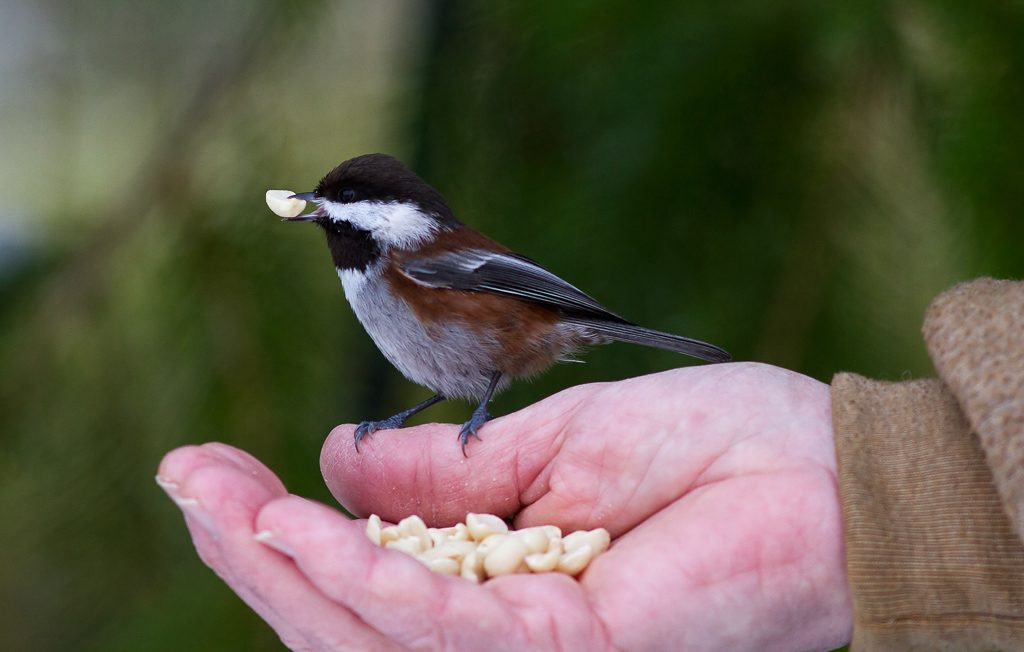 Chestnut-backed Chickadee taking peanuts from hand. Photo by Dennis Plank