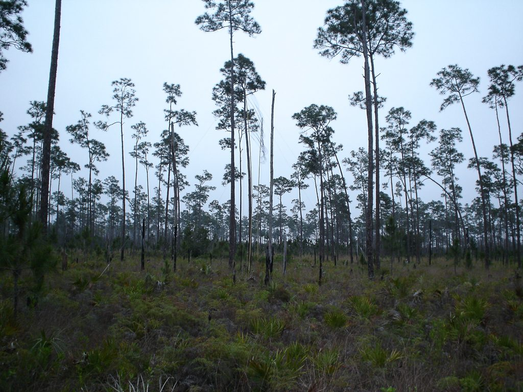 Pine Rockland, Florida. Photo by Ecostudies Institute