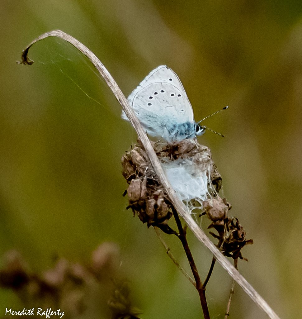 While I'm down on the ground, I encounter other special residents of the prairie. This is the Silvery Blue butterfly, a mere inch wide in wing span but its bright blue color during flight makes it larger than life. Butterflies are important pollinators of the wildflowers. Photo by Meredith Rafferty