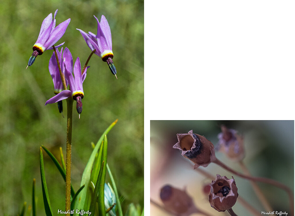Dodecatheon hendersonii is the unique Shooting Star of Springtime. It presents a photography challenge to get down at eye level to capture its downward pointed shape. The seed pods will form as shown in the right photo (hey, there's a surprise occupant in the bottom seedpod!) The ripe seeds usually shake right out but are tiny and must be carefully contained. Photos by Meredith Rafferty