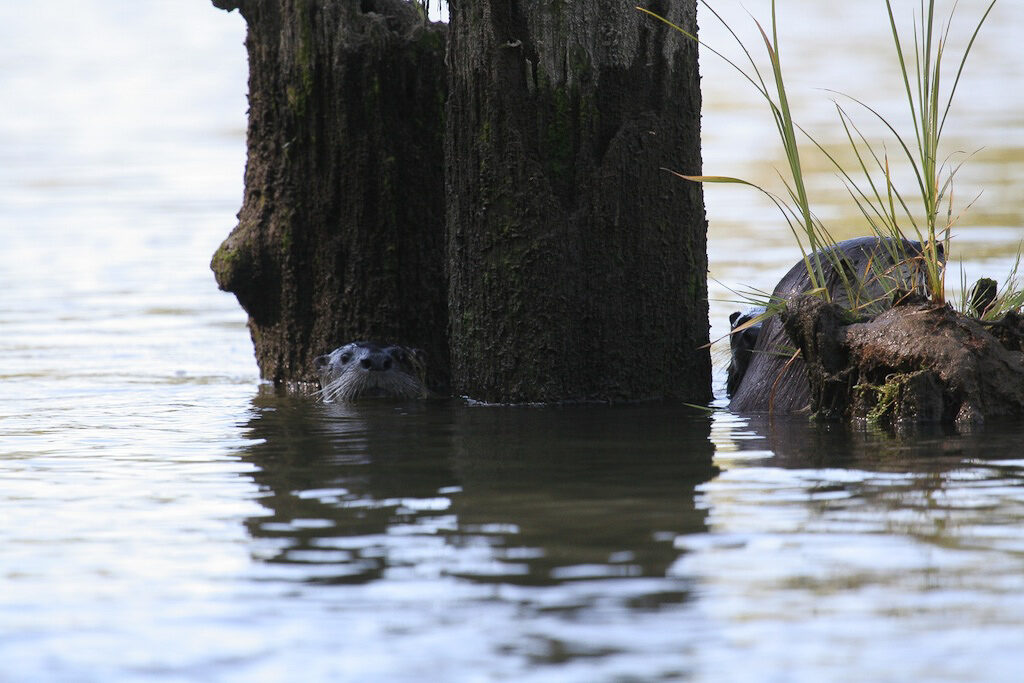 Otters on the Chehalis, photo by Keith Muggoch