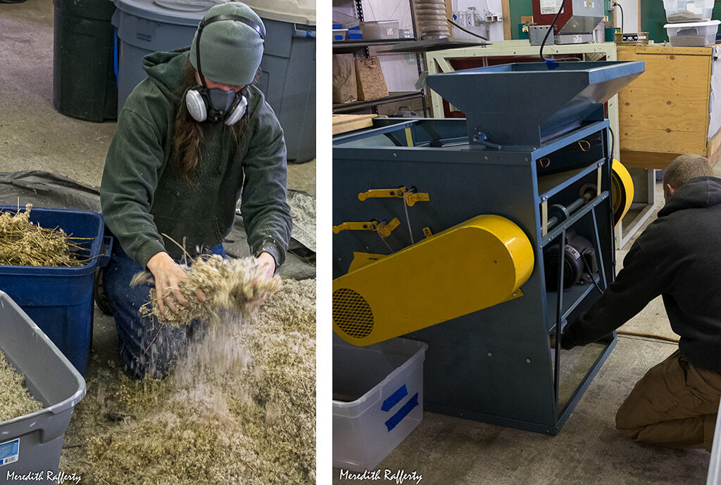 Forrest Edelman readies a collection of Sericocarpus rigidis, also known as Aster curtus. It is a challenge to separate the seed from its fluffy part (I'm sure there's a technical name for the fluff). Mechanical extraction works. Other seeds require other machinery. Photos by Meredith Rafferty