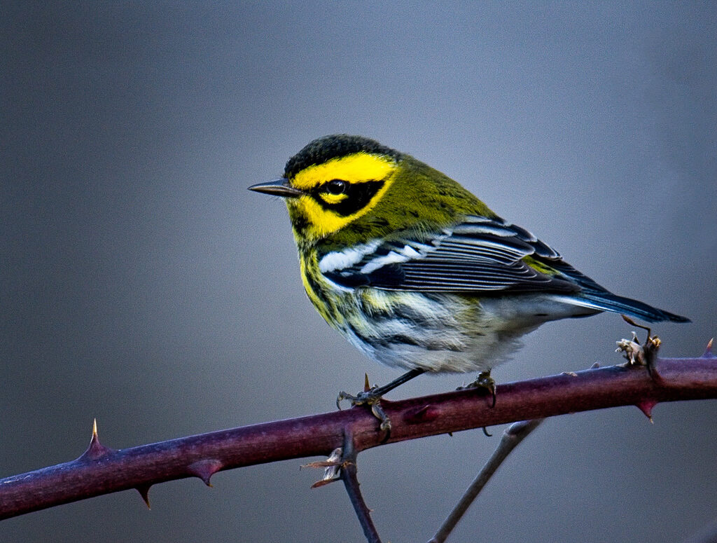 Townsend's Warbler, photo by Tammy Mandeville.  This is her first Townsend's Warbler and was photographed very recently at the retention ponds in Lacey, WA.