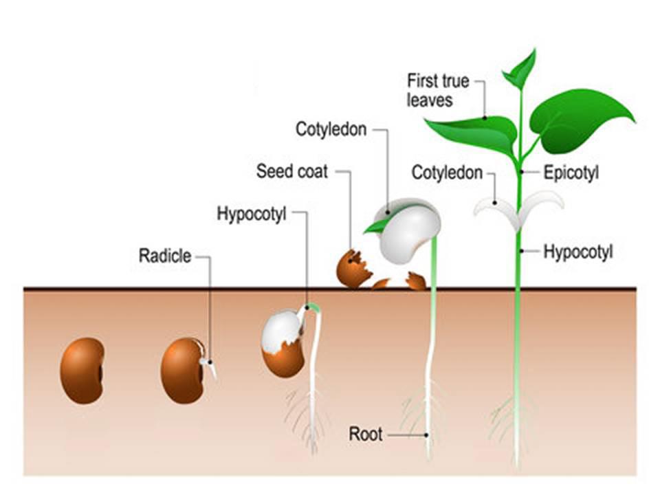 1- seedling anatomy