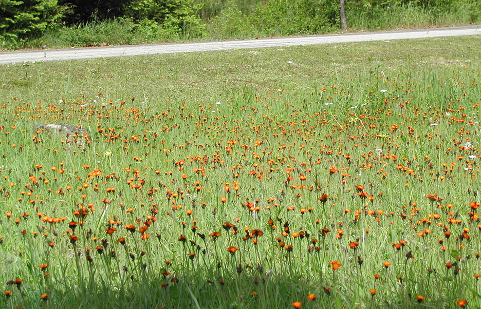 Meadow of orange hawkweed and wild carrot. Courtesy of WSNWCB