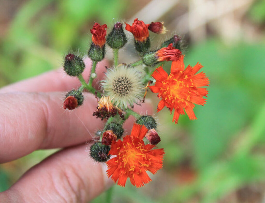 Orange hawkweed, often overlooked and misidentified as Indian paint brush, or orange dandelion. Courtesy of WSNWCB