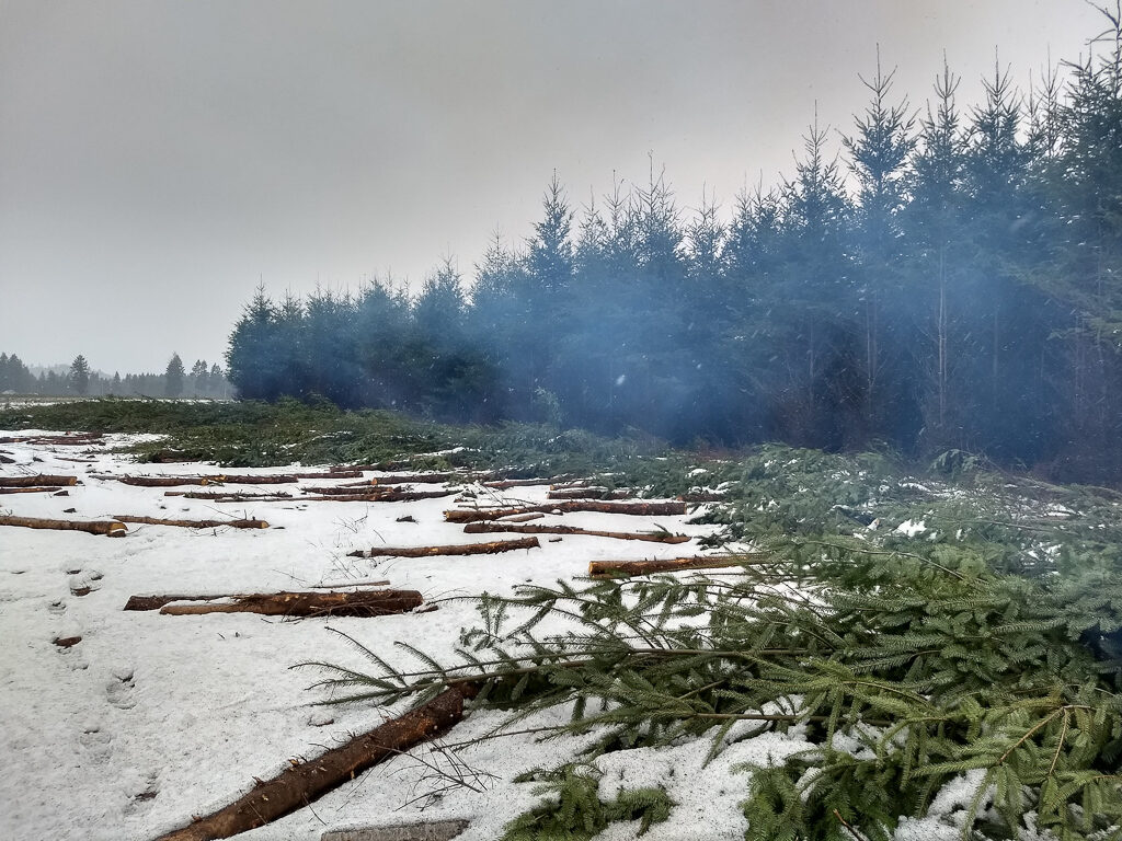 Cleared overgrown Douglas fir field at Cavness Ranch to expand prairie.  Photo by Ivy Clark.