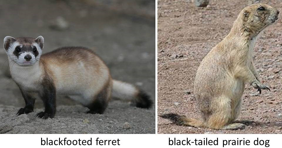 Blackfooted Ferret and Black-tailed Prairie Dog, photos from Wikipedia