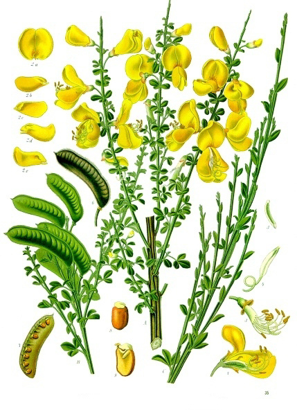 Illustration of Scot's broom (Cytisus scoparius) from Köhler's Medicinal Plants (1887)