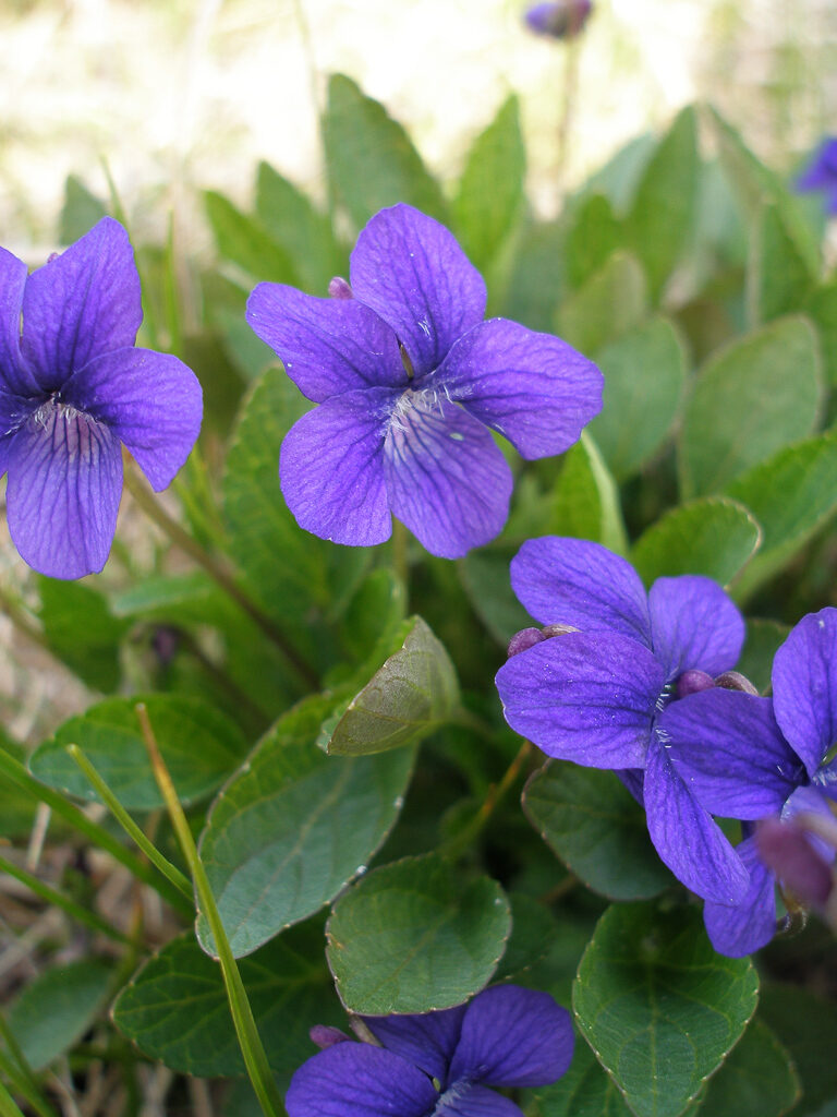 Early Blue Violet, photo by David Wilderman