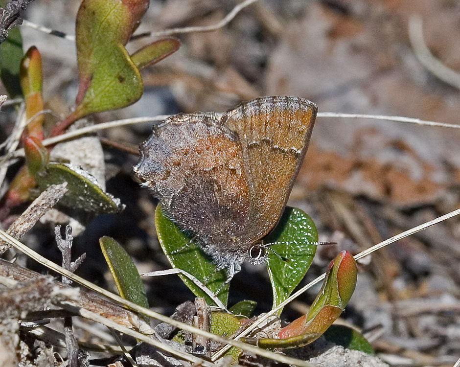 Hoary Elfin Butterfly on Kinnickinnick, Photo by David Wilderman