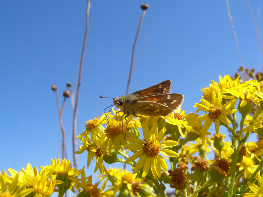 Oregon Branded Skipper on Tansy Ragwort, photo by Ann Potter