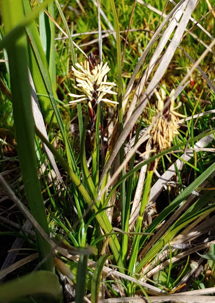 Carex inops, long-stolon sedge, Glacial Heritage Preserve, photo by Deb Naslund