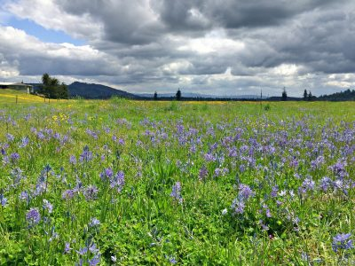Colvin Ranch Camas Bloom (S. Hamman)