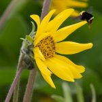 Classic Puget Balsamroot at Violet Prairie
